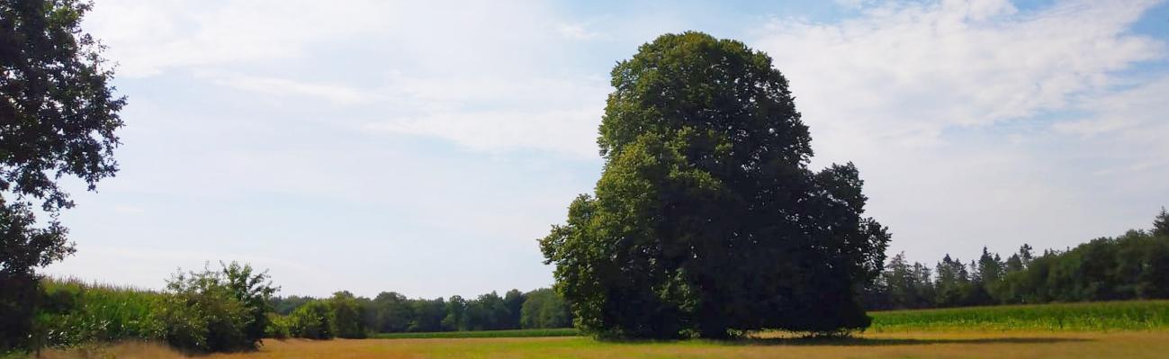 boskengreide lindeboom
